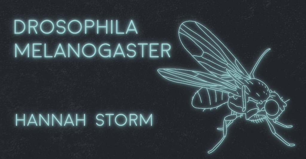 DROSOPHILA MELANOGASTER by Hannah Storm